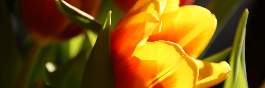 Die drei goldenen Tulpen